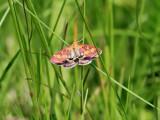 Purpurljusmott Pyrausta purpuralis