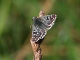 Backvisslare - Obethur's Grizzled Skipper - Pyrgus armoricanus