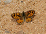 Svingelgräsfjäril - Wall Brown - Lasiommata megera