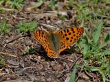Storfläckig pärlemorfjäril - Queen of Spain Fritillary - Issoria lathonia