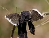 Sorgmantel - Mourning Cloak (Nymphalis antiopa)