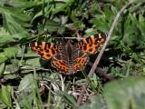 Kartfjäril -  Map Butterfly - Araschnia levana