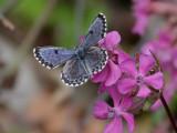 Fetörtsblåvinge - Chequered Blue (Scolitantides orion)