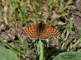 Ängsnätfjäril -  Glanville Fritillary - Melitaea cinxia