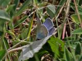 Silverblåvinge - Amanda´s Blue (Polyommatus amandus)