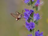 Humlelik dagsvärmare - Broad-bordered Bee Hawk-moth (Hemaris fuciformis)