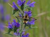 Svävfluglik dagsvärmare - Narrow-bordered Bee Hawkmoth (Hemaris tityus)