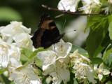 Nässelfjäril - Small tortoiseshell - Aglais urticae