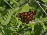 Asknätfjäril - Scarce Fritillary (Euphydryas maturna)