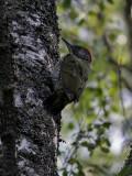 Gröngöling  Green Woodpecker  Picus viridis