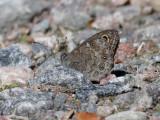 Vitgräsfjäril  Large Wall brown  Lasiommata maera