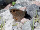 Vitgräsfjäril - Large Wall brown (Lasiommata maera)