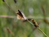 Väddnätfjäril  Marsh fritillary  Euphydryas aurinia