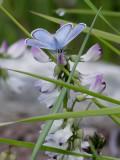 Fjällvickerblåvinge  Alpine blue  Albulina orbitulus