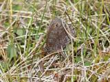 Tallgräsfjäril - Baltic Grayling (Oeneis jutta)