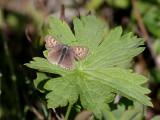 Violett guldvinge - Violet Copper (Lycaena helle)