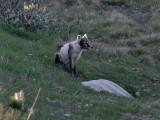 Fjällräv  Arctic Fox  Alopex lagopus