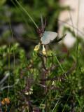 Grönsnabbvinge  Green Hairstreak  Callophrys rubi