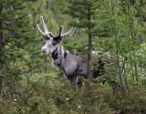Ren  Reindeer   Rangifer tarandus