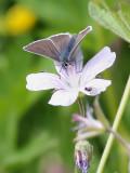Brun blåvinge  Geranium Argus  Aricia eumedon