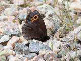 Gulringad gräsfjäril  Lapland Ringlet  Erebia embla