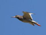 Rödbena  Common Redshank  Tringa totanus