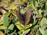 Lappnätfjäril - Lapland Fritillary (Euphydryas iduna)