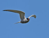 Silvertärna  Arctic Tern  Sterna paradisaea