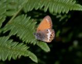 Pärlgräsfjäril - Pearly Heath (Coenonympha arcania)