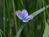 Ljungblåvinge  Silver-studded BluePlebejus argus