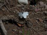 Skogsvitvinge - Wood white (Leptidea sinapis)