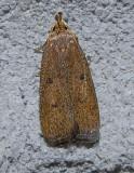Glyphidocera septentrionella (1142)