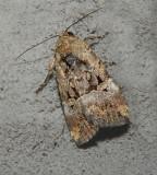 Chalcedony Midget Moth (9679)