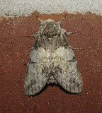 Mottled Prominent Moth (7975)