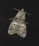 Maple Webworm Moth (5606)