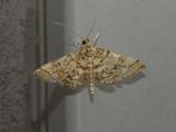 Checkered Apogeshna Moth (5177)
