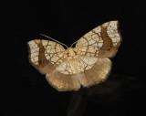 Horned Spanworm Moth (7010)