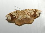 Horned Spanworm Moth 7010