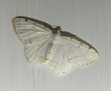 Lesser Maple Spanworm Moth (6273)