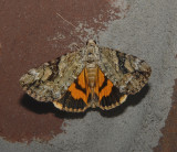 Little Nymph Underwing Moth (8876)