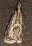 Elegant Grass-veneer Moth (5420)