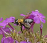 Bees:  Family Apidae