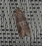 Adelphia Moth (5890)