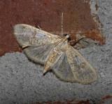 Inkblot Palpita Moth (5223)