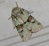 Implicit Arches Moth (10414)