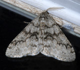 Toothed Phigalia Moth (6659)