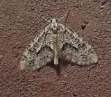 Angle-lined Carpet Moth (7638)