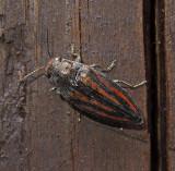 Lined Buprestris Beetle