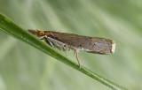 Bluegrass Webworm Moth (5451)