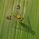 Dance Flies, Long-legged Flies, and Lauxaniid Flies